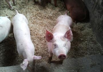 EIFEL Schweine bei REWE Ingo Istas