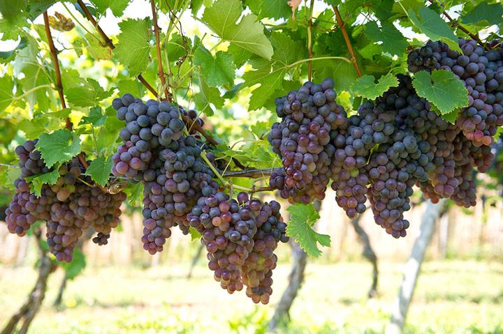 Unser Wein des Monats Februar: Salice Salentino Riserva
